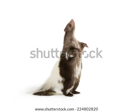Picture of a skunk standing up on its hind legs on a white background