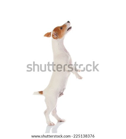 Jack russell terrier. Isolated on white background #225138376