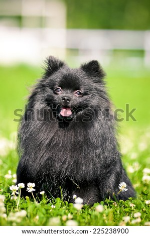 Black shpitz on green grass in summer park #225238900