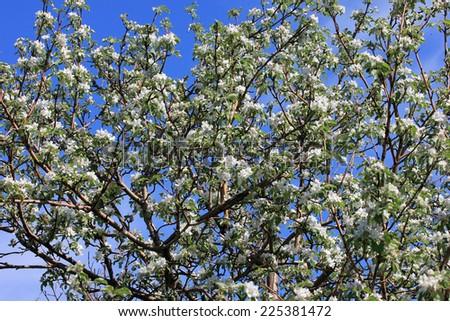 flowering tree cherry as symbol spring awakening nature #225381472