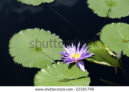 Water lily #22581748