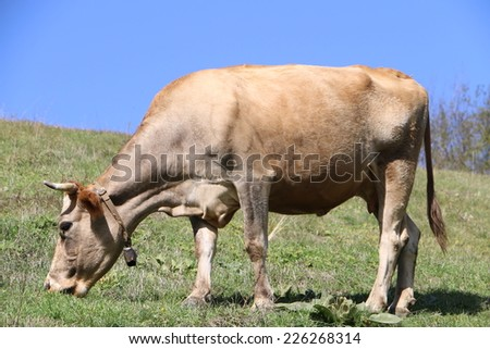 A light brown cow eating the grass #226268314