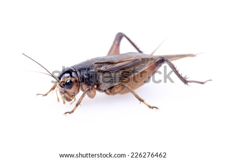 A cricket crawling close-up on a white background