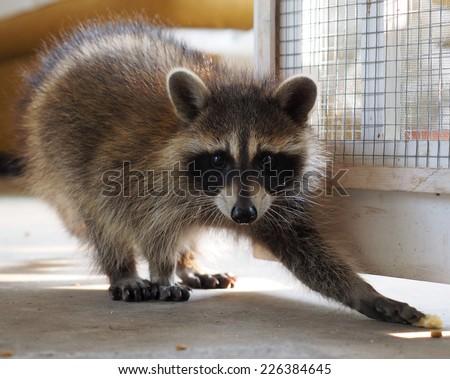 Reaching Raccoon