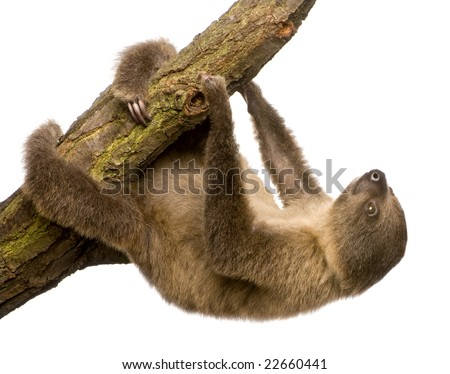 baby Two-toed sloth (4 months) - Choloepus didactylus in front of a white background