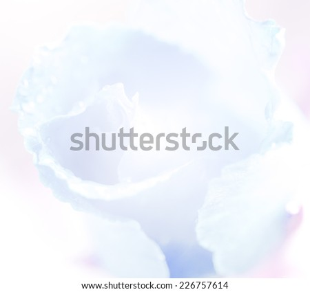 Sweet rose in soft style for background  #226757614