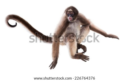 Long-haired spider monkey. Isolated over white background