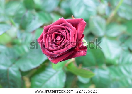 beautiful red rose as element holiday decoration #227375623