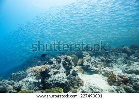 school of scad fish in Dimakya island, Palawan, Philippines. #227490001