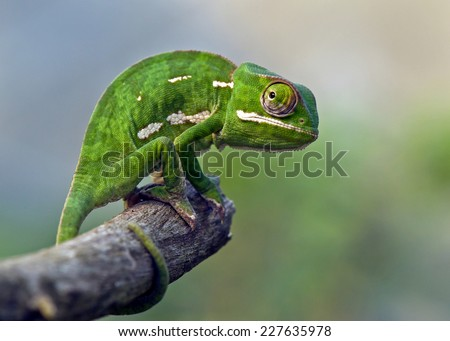 chameleon on stick #227635978