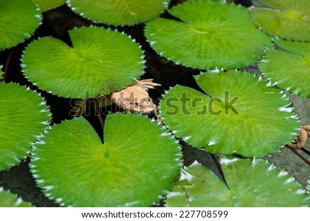Frog in the lake with lotus leaf #227708599