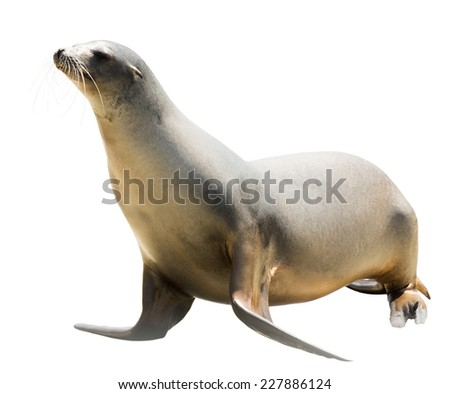 Earless seal Isolated  over white background #227886124