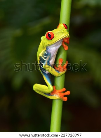 the red eyed tree frog or gaudy leaf frog or Agalychnis callidryas is a arboreal hylid native to tropical rainforests in Central America commonly panama and costa rica .  #227928997