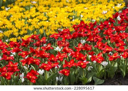 Beautiful flowers in Keukenhof Garden #228095617