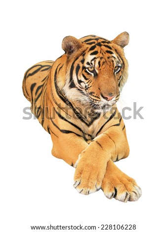 Tiger isolated #228106228