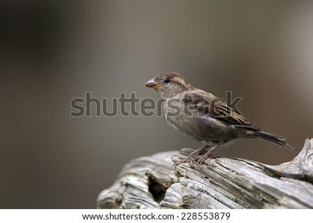House sparrow #228553879