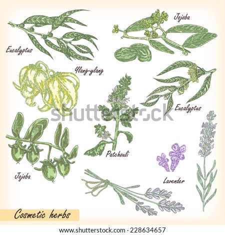 Hand drawn cosmetic herbs. Plant patchouli, jojoba, eucalyptus, lavender, ylang-ylang with flower and fruits vector illustration #228634657