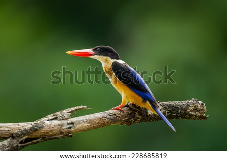 Side portrait of Black-capped Kingfisher (Halcyon pileata) in nature of Thailand #228685819