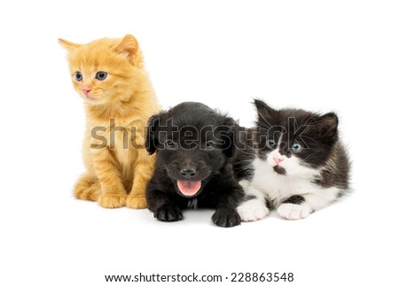 little kittens and spaniel puppy on white background #228863548