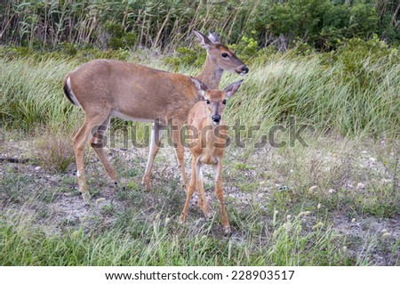 A fawn with its mother on the edge of the brush. #228903517
