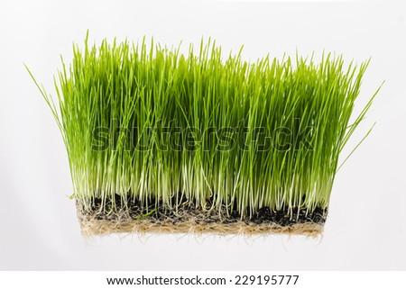 Nutritious homegrown Wheatgrass plants #229195777