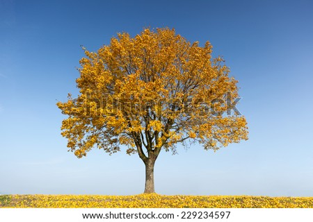 Maple tree in autumn with yellow leaves #229234597