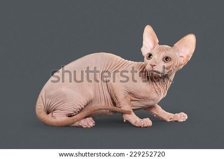 Canadian sphynx kitten on gray background #229252720