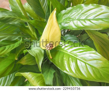 Wild calla flower aka Bog Arum, Marsh Calla or Water arum #229410736
