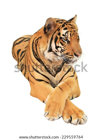 Tiger isolated on white background #229559764