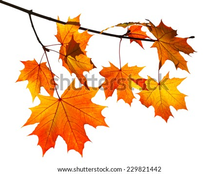 branch with yellow and orange autumn maple leaves isolated on white background #229821442