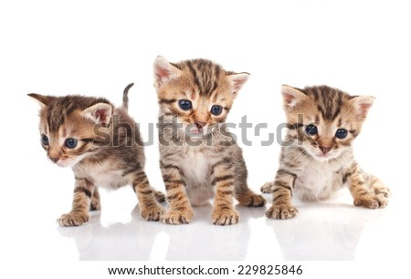 beautiful tabby kittens on a white background #229825846