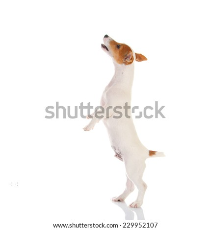 Jack russell terrier. Isolated on white background #229952107