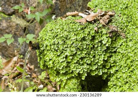 Marchantiophyta, non-vascular bryophyte land plants,  hepatics, liverworts growing on a water fountain. Royalty-Free Stock Photo #230136289