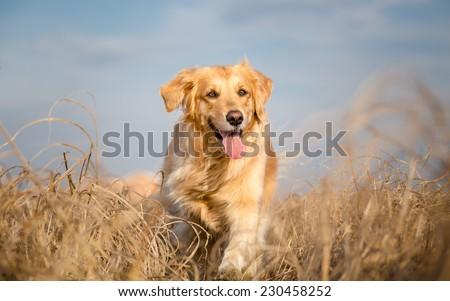 Golden retriever dog running outdoor Royalty-Free Stock Photo #230458252