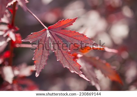 Red leaves background #230869144