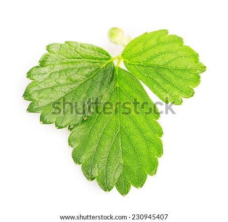 strawberry leaf Isolated on white background #230945407