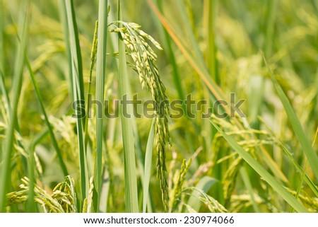Rice field  #230974066