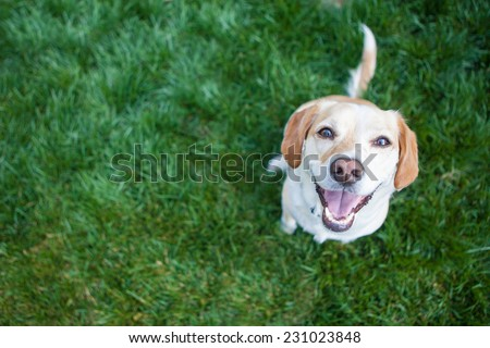 Dog playing outside smiles Royalty-Free Stock Photo #231023848