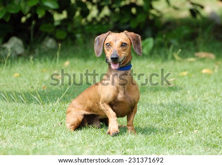 A cute little Dachshund with funny facial expression sitting and staring in front of blurry green park background. #231371692