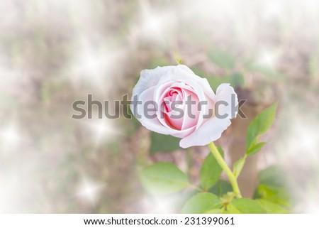 Color filter and blur background. Pink rose. #231399061