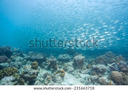 Fish ball of scad fish in coral reef of Dimakya Island, Palawan. #231663718