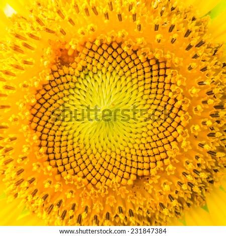 Beautiful sunflower blossom. #231847384