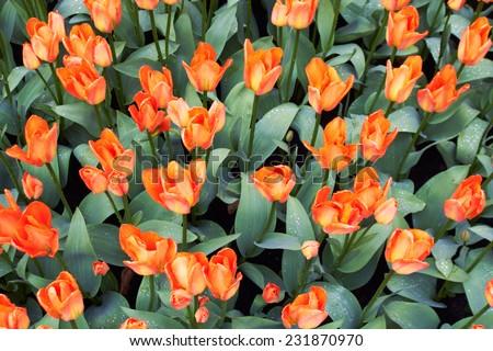 Red and white  Tulips in Keukenhof Flower Garden, cool spring day, Netherlands #231870970