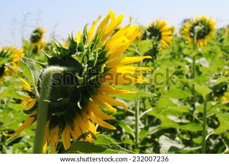 sunflowers flowers yellow green background nature #232007236