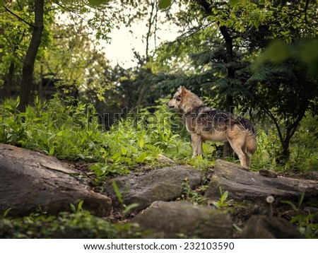 Picture of a wolf in his habitat
