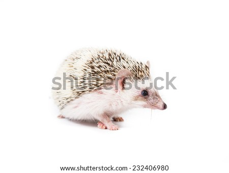 Picture of a pygmy hedgehog on a white background.