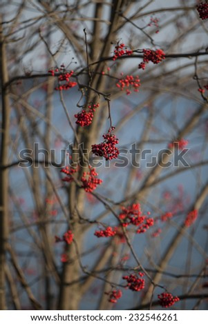 Red Elderberry tree without leaves #232546261
