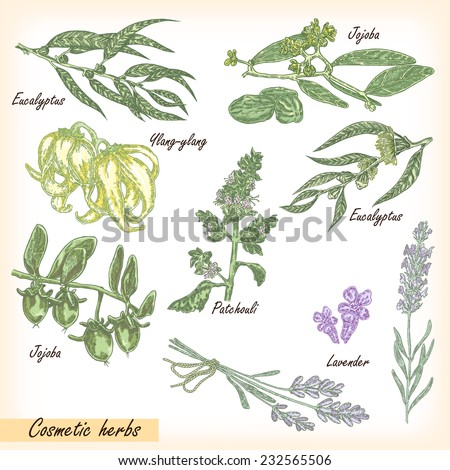 Hand drawn cosmetic herbs. Plant patchouli, jojoba, eucalyptus,  #232565506