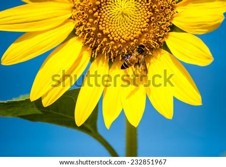 Closeup Sunflower with bee #232851967