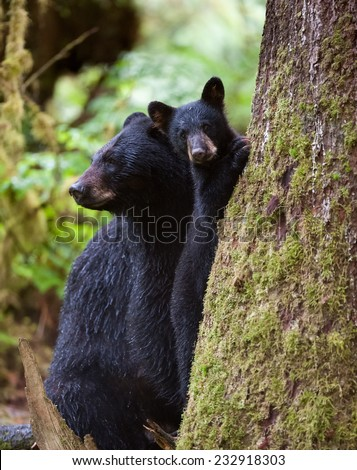 Mother black bear and cub at the base of a tree in the rain forest, cub is looking at photographer while mother is looking to the left for possible threats